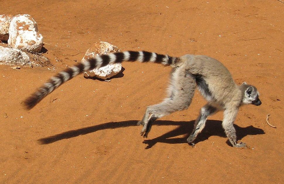 Lemur catta - tail length 01