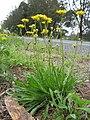 Leontodon saxatilis plant5 (14630690244).jpg