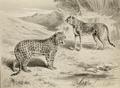 Leopard & cheetah.png