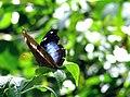 Lepidoptera Ana Cotta 2435906298.jpg