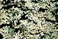 Lepraria lobificans-3.jpg