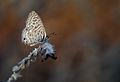 Leptotes pirithous - Lang's Short tailed blue - Mavi zebra.jpg