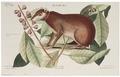 Lepus javensis - 1700-1880 - Print - Iconographia Zoologica - Special Collections University of Amsterdam - UBA01 IZ20600259.tif
