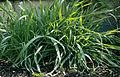 Les Plantes Cultivades. Cereals. Imatge 85.jpg