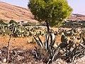 Les figues berberes à DEHAHNA 1 - panoramio.jpg