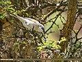 Lesser Whitethroat (Sylvia curruca) (42058052160).jpg