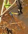 Lestes dorothea-Thekkady-2018-09-09-002.jpg