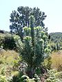 Leucadendron argenteum - Silvertree Forest - Table Mountain 3.JPG
