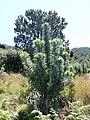Leucadendron argenteum - Silvertree Forest - Table Mountain 3.JPG