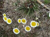 Leucanthemopsis pulverulenta 1