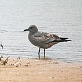 Leucophaeus modestus-Grey gull (Young).JPG