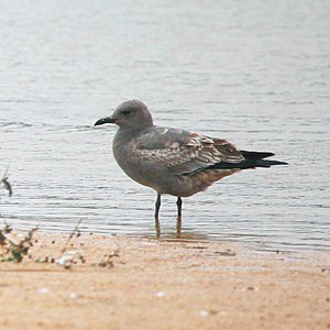 Grey gull - A young grey gull at Algarrobo, Valparaíso Region, Chile