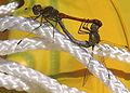 Libellenpaar7365.jpg