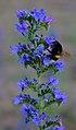Lieberoser Heide Echium vulgare 03.jpg