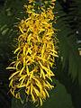 Ligularia przewalskii02.jpg