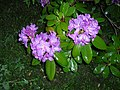 Lilac Rhododendron Blossoming (8402382725).jpg