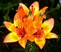 Lilium bulbiferum mg-k.jpg