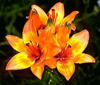 Lilium bulbiferum mg-k