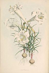 Lilium philippinense