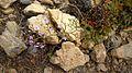 Limonium carthaginense0193.jpg