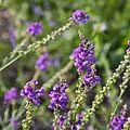 Linaria purpurea-IMG 9327.jpg