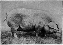 Lincolnshire Curly Coat sow, from Morrison 1928.jpg