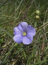 Linum austriacum flora2