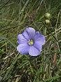 Linum austriacum flora2.jpg
