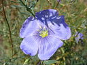 Linum perenne 'Perennial Flax' (Linaceae) flower