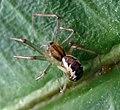 Linyphia triangularis - Flickr - gailhampshire.jpg
