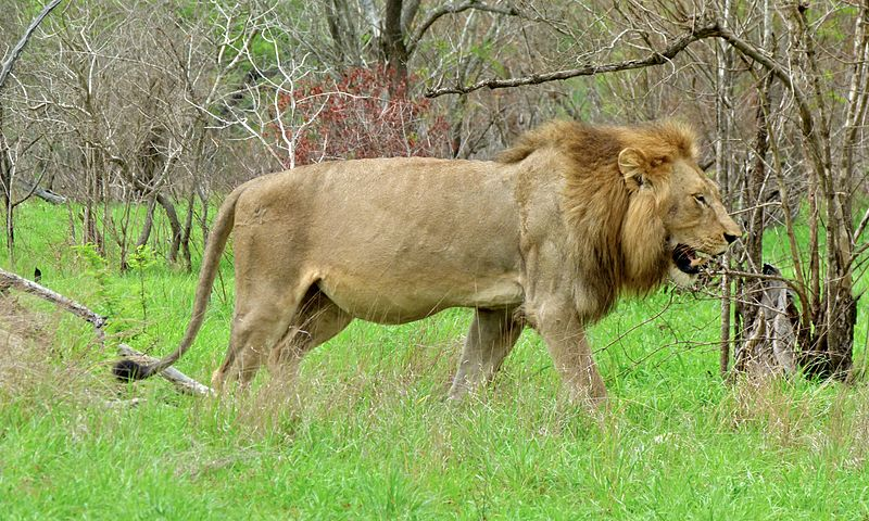 By Bernard DUPONT from FRANCE - Lion (Panthera leo), CC BY-SA 2.0, https://commons.wikimedia.org/w/index.php?curid=40782807