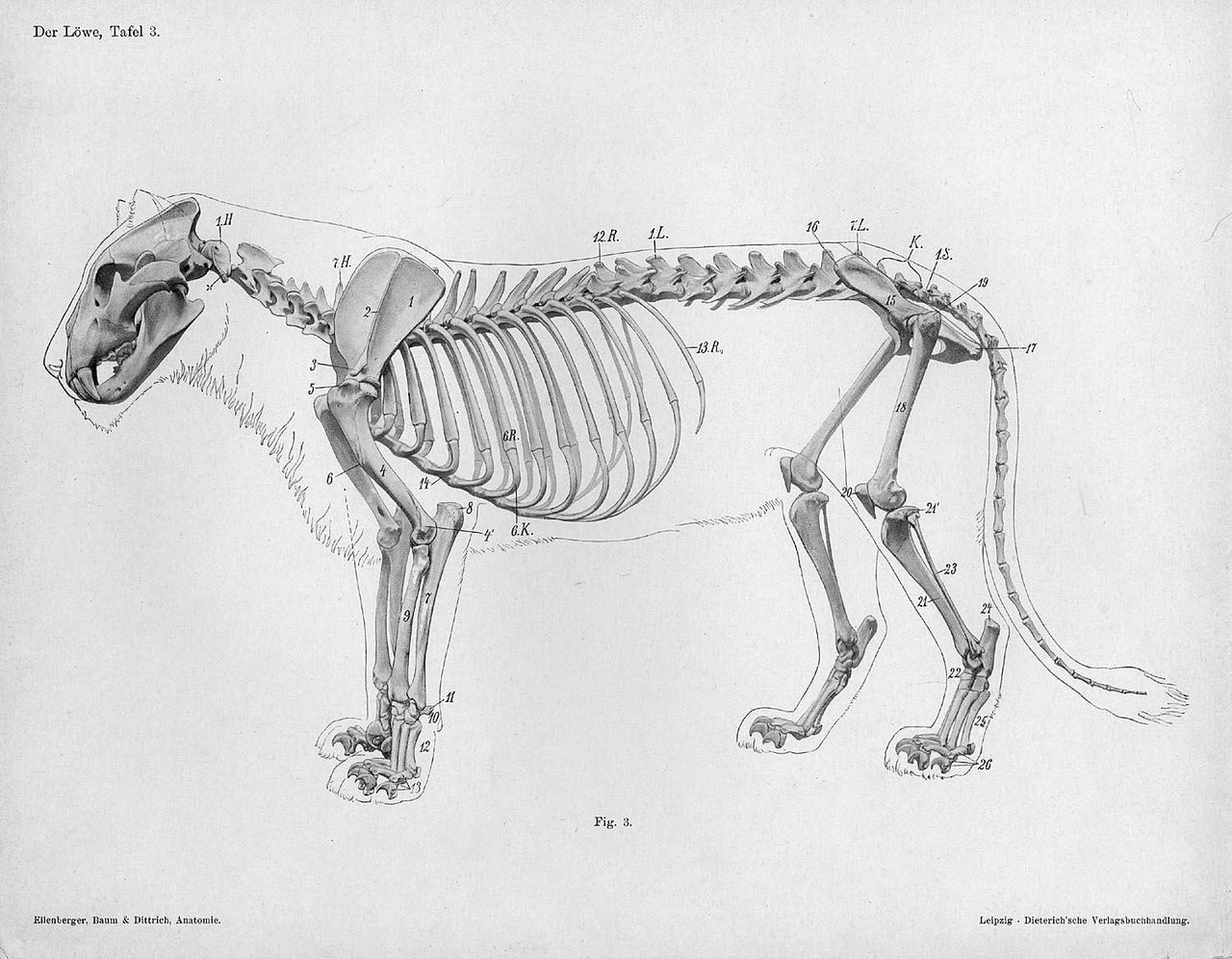 File:Lion anatomy lateral skeleton view.jpg - Wikimedia Commons