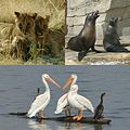Lion cubs, California sea lions, and American white pelicans.jpg