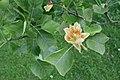 Liriodendron tulipifera 'Integrifolium' JPG1a FeFl.jpg