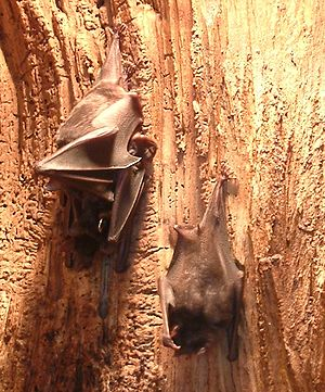 Phyllostomus - Pale spear-nosed bats