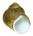 Lithoglyphus naticoides shell.png