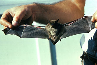 Brown bat - Little brown bat