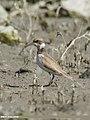 Little Ringed Plover (Charadrius dubius) (46541803392).jpg