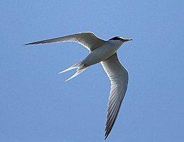 Little Tern 6820C.jpg