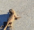Little Yard Lizard (15100395971).jpg