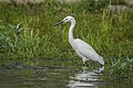 Little egret (Egretta garzetta) 24.jpg