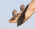 Little owl - Steenuil - Athene noctua 03.jpg