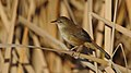 Little rush warbler, Bradypterus baboecala, at Marievale Nature Reserve, Gauteng, South Africa (40842141770).jpg