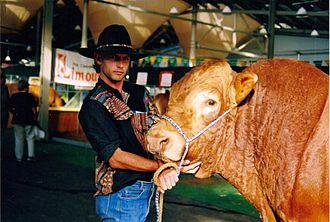 Sydney Royal Easter Show - A Limousin bull