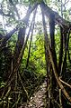 Living Root Bridge (7344209956).jpg