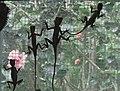 Lizards on Screen - Butterfly Farm - Near Brinchang - Cameron Highlands - Malaysia (34757129063).jpg