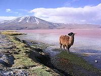 Llama en el Altiplano andino