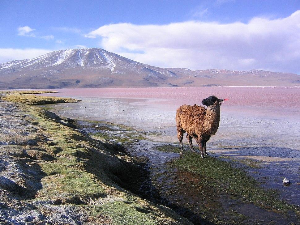 Llama en la laguna Colorada Potosí Bolivia