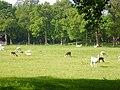 Llamas and-or alpacas, Nutfield Park Farm, South Nutfield - geograph.org.uk - 811436.jpg
