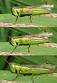 Locust eating grass Oxya japonica DSCN0006 07 15.JPG